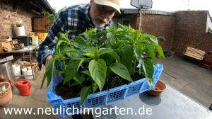 Paprika Jungpflanzen