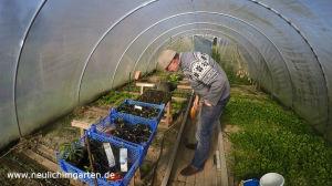 Gemuesezwiebeln im Garten anbauen
