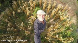 Weizen selbst anbauen