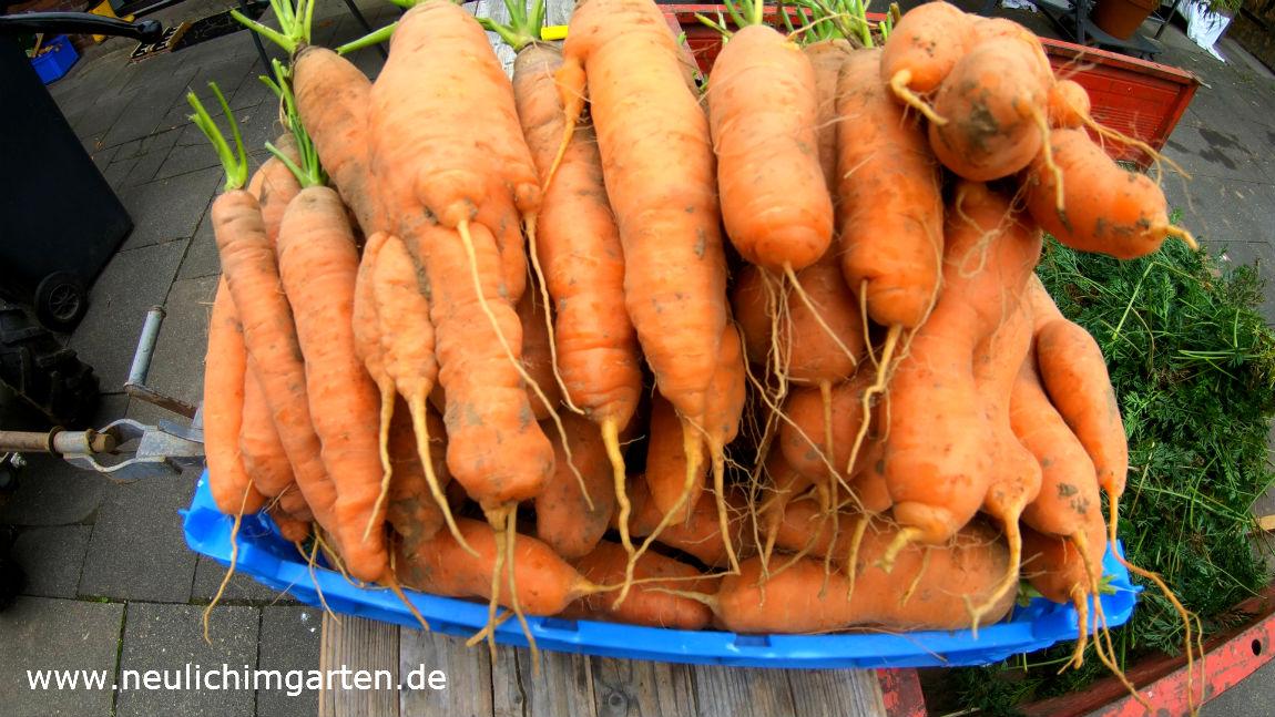 Karotten Einlagern