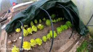 Chicoree ganz einfach selbst anbauen