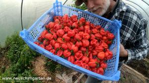 Chili richtig anbauen