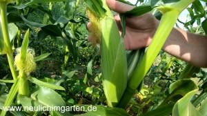 Bantammais Anbau und meine Erfahrungen