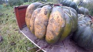 Melonen pflanzen Kuerbis ernten Beitragsbild
