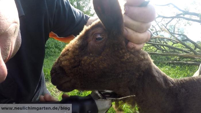 Gemeinsame Schafe scheren fuer Dummies, oder wie ich mal kurz Urlaub in #QG_73
