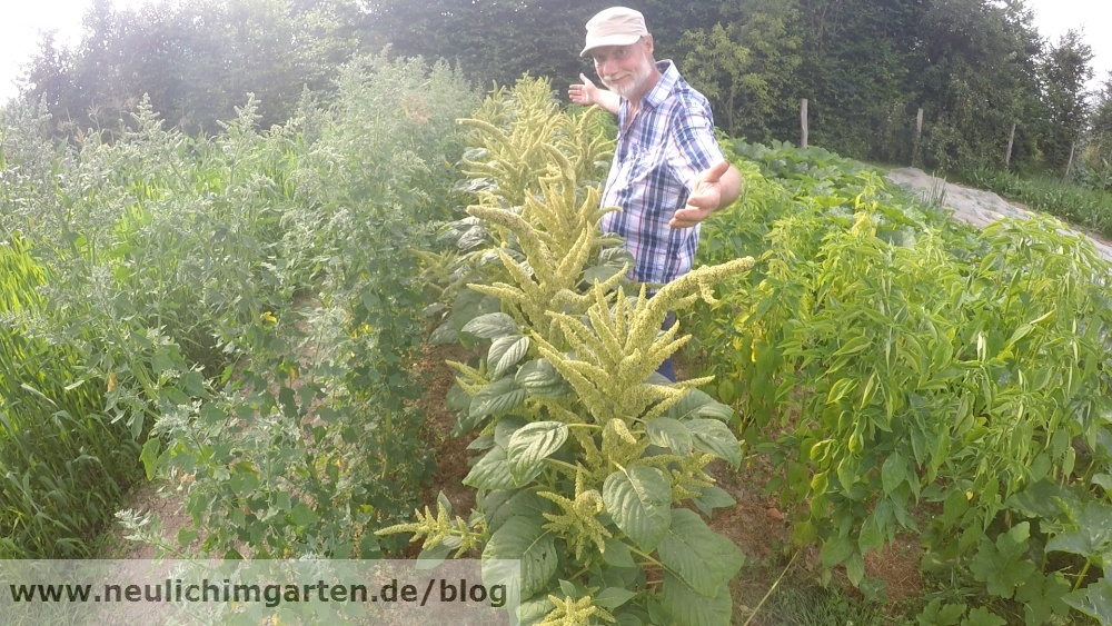 Prächtig Pop Amarant im Garten selbst anbauen. Die Ernte, oder wie viel &TJ_14