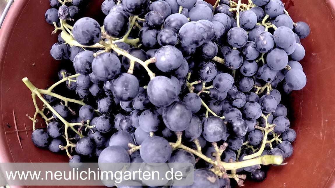 Berühmt Reben / Trauben richtig im Garten anbauen, oder wie Sie genug @MN_03
