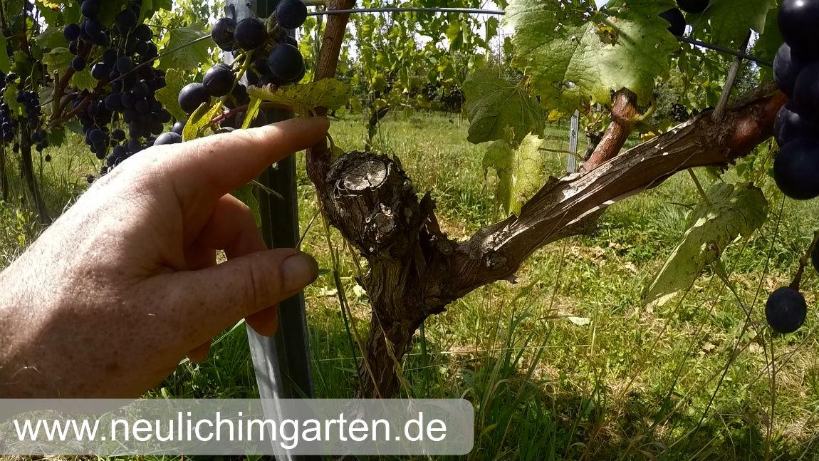 Außergewöhnlich Reben / Trauben richtig im Garten anbauen, oder wie Sie genug &MJ_01